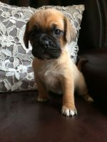 Puggle Puppies for sale in NJ-38, Cherry Hill, NJ 08002, USA. price: NA