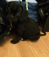 Puggle Puppies for sale in United States. price: NA