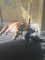 Puggle Puppies for sale in Southfield, MI, USA. price: NA