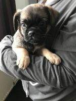 Puggle Puppies for sale in Tempe, AZ, USA. price: NA