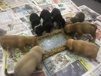 Puggle Puppies for sale in Los Angeles, CA 90001, USA. price: NA