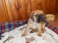 Puggle Puppies for sale in Branford, FL 32008, USA. price: NA