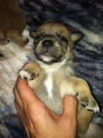 Puggle Puppies for sale in Abilene, Houston, TX 77020, USA. price: NA