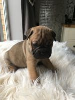Puggle Puppies for sale in Delaware, OH 43015, USA. price: NA
