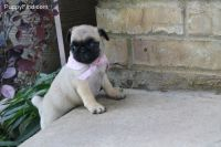 Puggle Puppies for sale in Jacksonville, FL, USA. price: NA