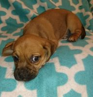 Puggle Puppies for sale in Beverly Hills, CA 90210, USA. price: NA