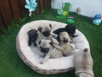 Puggle Puppies for sale in New York, NY, USA. price: NA