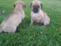 Puggle Puppies for sale in Indianapolis, IN, USA. price: NA