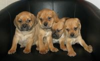 Puggle Puppies for sale in Dallas, TX, USA. price: NA