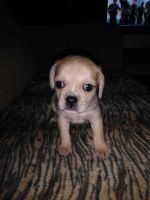Puggle Puppies for sale in Morrison, TN 37357, USA. price: NA