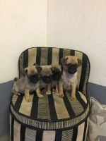 Puggle Puppies for sale in Indianapolis Blvd, Hammond, IN, USA. price: NA