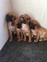 Puggle Puppies for sale in Bridgeton, MO, USA. price: NA
