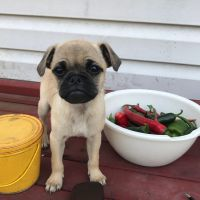 Puggle Puppies for sale in Westminster, MD, USA. price: NA