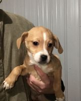 Puggle Puppies for sale in Copperhead Rd NW, Sugarcreek, OH 44681, USA. price: NA