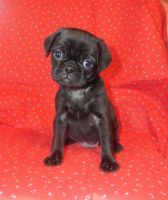 Puggle Puppies for sale in Charlton, MA 01507, USA. price: NA