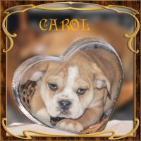 Puggle Puppies for sale in North Canton, OH, USA. price: NA