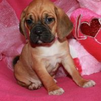 Puggle Puppies for sale in Denver, CO, USA. price: NA