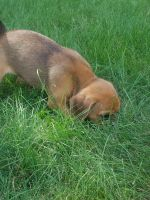 Puggle Puppies for sale in Wakarusa, IN, USA. price: NA