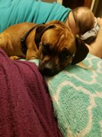 Puggle Puppies for sale in Apple Creek, OH 44606, USA. price: NA