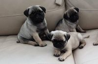 Puggle Puppies for sale in Fresno, CA 93720, USA. price: NA