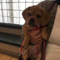 Puggle Puppies for sale in Springfield, MA, USA. price: NA