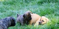 Puggle Puppies for sale in Greeley, CO, USA. price: NA
