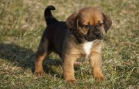 Puggle Puppies for sale in Marsh Ln, Dallas, TX, USA. price: NA