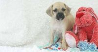 Puggle Puppies for sale in San Leandro, CA, USA. price: NA