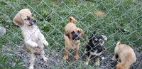 Puggle Puppies for sale in East Haven, CT, USA. price: NA