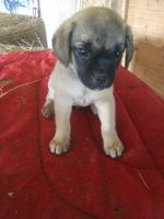 Puggle Puppies for sale in New Wilmington, PA 16142, USA. price: NA