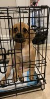 Puggle Puppies for sale in Astoria, Queens, NY, USA. price: NA