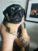 Puggle Puppies for sale in Washington, DC, USA. price: NA