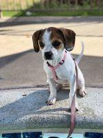 Puggle Puppies for sale in Coronado, CA 92118, USA. price: NA