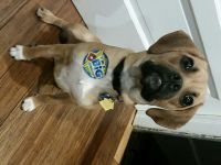 Puggle Puppies for sale in Virginia Beach, VA 23454, USA. price: NA