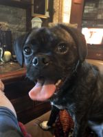 Puggle Puppies for sale in Baltimore County, MD, USA. price: NA