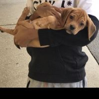 Puggle Puppies for sale in Wauwatosa, WI, USA. price: NA