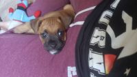 Puggle Puppies for sale in Tucson, AZ, USA. price: NA