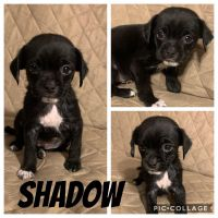 Puggle Puppies for sale in Akron, OH, USA. price: NA