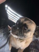 Puggle Puppies for sale in Century Oak Dr, Fredericksburg, VA 22401, USA. price: NA