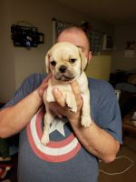 Puggle Puppies for sale in Colorado Springs, CO, USA. price: NA