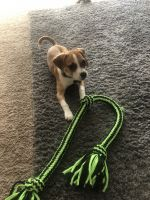 Puggle Puppies for sale in Darien, IL 60561, USA. price: NA