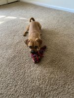 Puggle Puppies for sale in Norfolk, VA, USA. price: NA