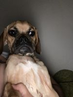 Puggle Puppies for sale in 216 Fescue Dr SE, Kentwood, MI 49548, USA. price: NA