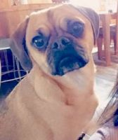 Puggle Puppies for sale in Pelican Rapids, MN 56572, USA. price: NA