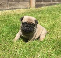 Puggle Puppies for sale in Anchorage, AK 99501, USA. price: NA