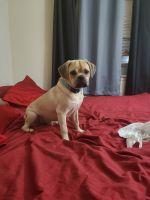 Puggle Puppies for sale in South Amboy, NJ, USA. price: NA