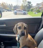 Puggle Puppies for sale in Columbus, OH, USA. price: NA