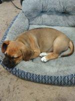 Puggle Puppies for sale in Bala Cynwyd, PA 19004, USA. price: NA