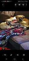 Puggle Puppies for sale in Annapolis, MO 63620, USA. price: NA