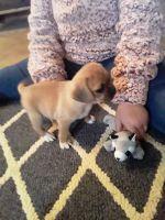 Puggle Puppies Photos